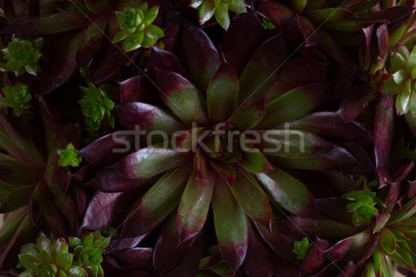 Nedvdús fehér sötét zöld növény makró Stock fotó © neirfy