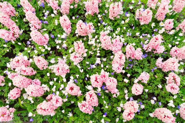 pink hyacinth flowerbed Stock photo © neirfy