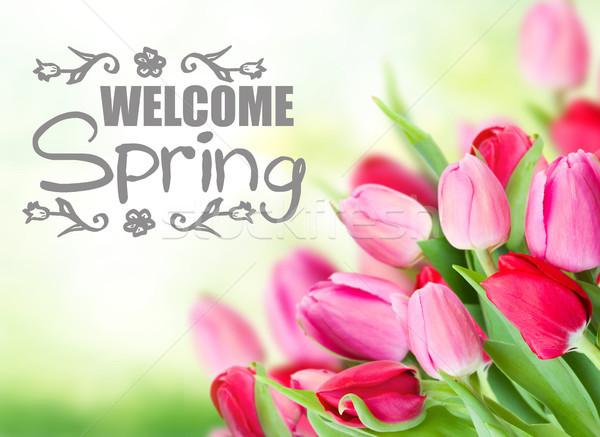 Photo stock: Tulipes · jardin · vert · Bienvenue · printemps · mots