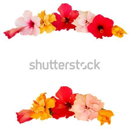 Hibiszkusz virág keret tarka virágok izolált Stock fotó © neirfy