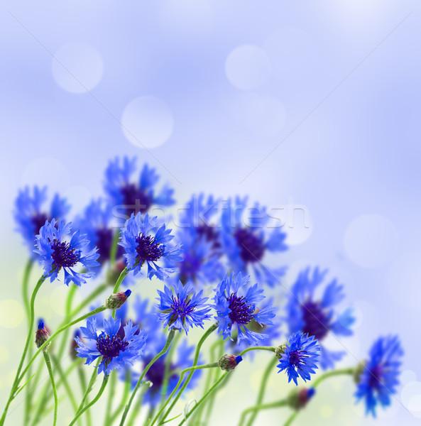 blue corn flower in field Stock photo © neirfy