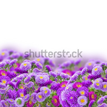 border  of violet aster flowers Stock photo © neirfy