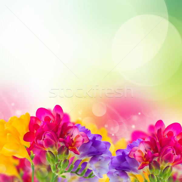 blue, pink and yellow freesia  flowers Stock photo © neirfy