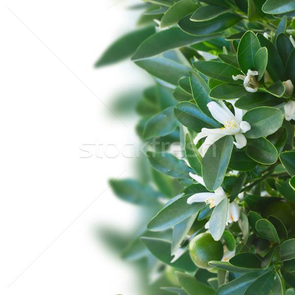 Tangerine tree Stock photo © neirfy