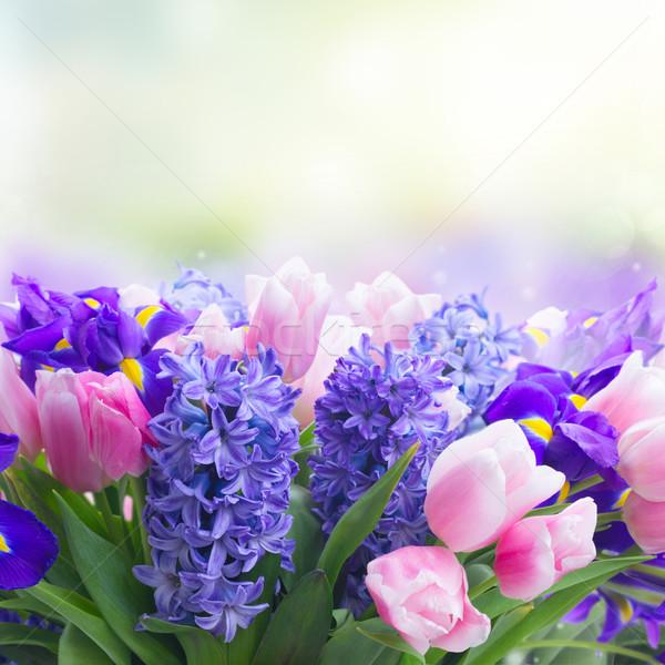 Tulipánok rózsaszín kék virágok zárt copy space Stock fotó © neirfy