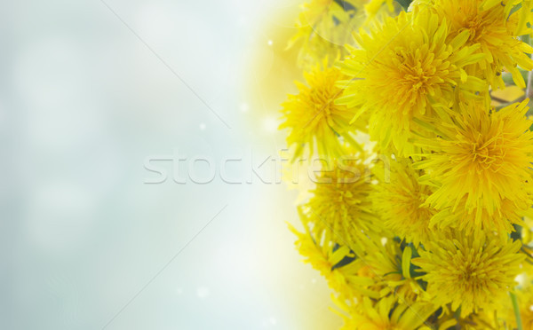 Dandelions on white Stock photo © neirfy