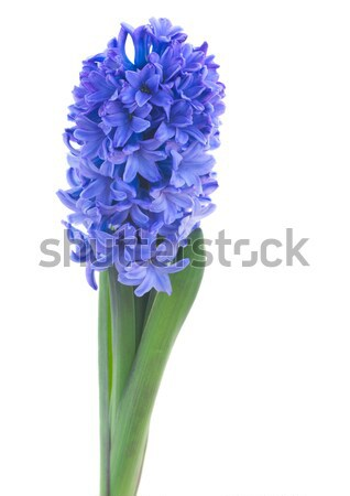 blue hyacinth flowers Stock photo © neirfy