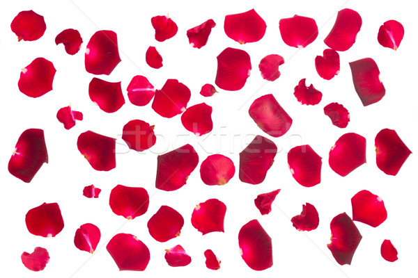 crimson  rose petals Stock photo © neirfy