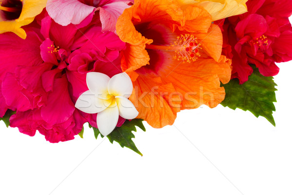 Sınır renkli ebegümeci çiçekler taze yalıtılmış Stok fotoğraf © neirfy