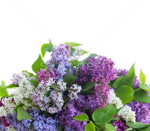 свежие сирень цветы границе изолированный белый Сток-фото © neirfy