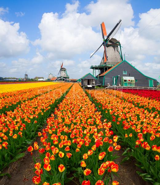Photo stock: Moulin · à · vent · tulipes · domaine · coloré · orange