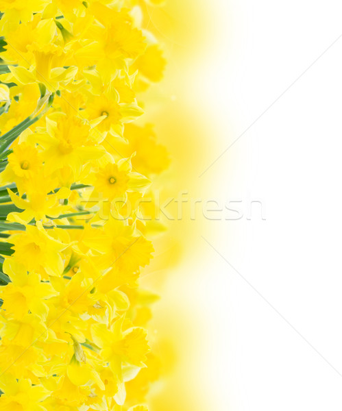 spring narcissus on white Stock photo © neirfy