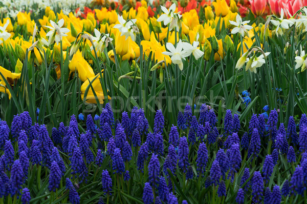 tulips, daffodils and bluebells Stock photo © neirfy
