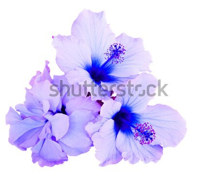 Narancs hibiszkusz virág trópusi virág köteg kék Stock fotó © neirfy