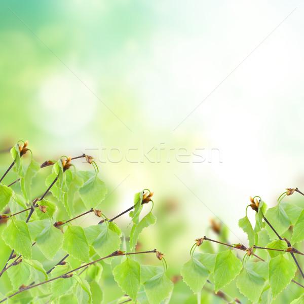 birch tree in garden Stock photo © neirfy