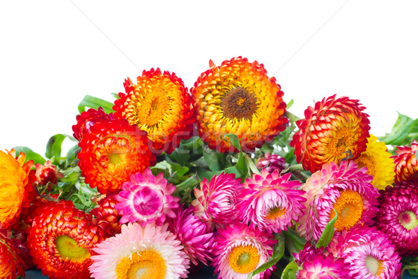 Everlasting flowers Stock photo © neirfy
