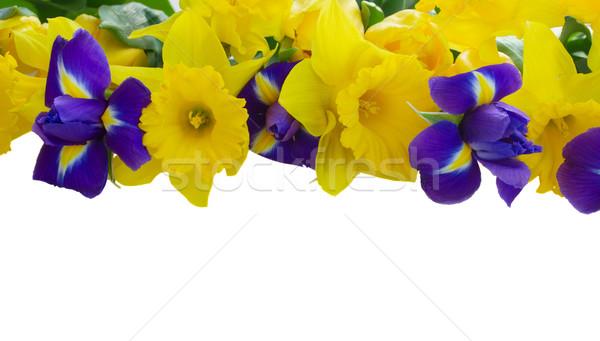 Stockfoto: Voorjaar · grens · Geel · narcissen · Blauw · geïsoleerd