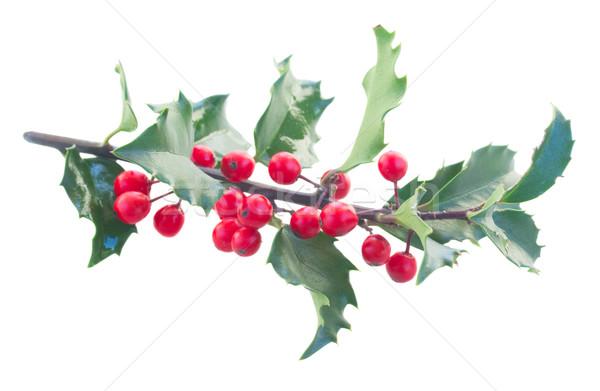 Holly fresh branch Stock photo © neirfy