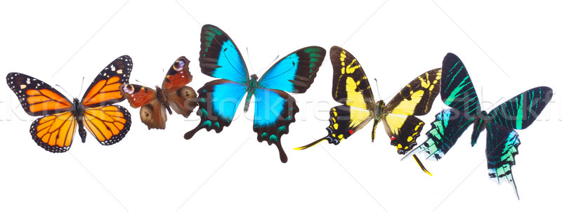 Tropical butterflies row Stock photo © neirfy