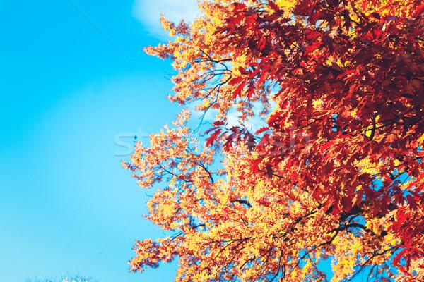 Vibrante caduta fogliame arancione quercia cielo blu Foto d'archivio © neirfy