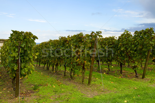 Vinícola jardim belo uvas céu Foto stock © neirfy