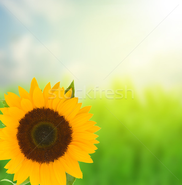 one beautiful bight sunflower Stock photo © neirfy