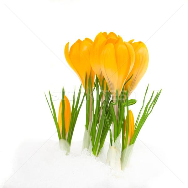 Sarı çiğdem çiçekler bahar çiçek kar Stok fotoğraf © neirfy