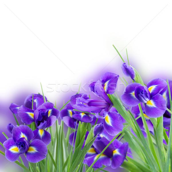 fresh blue irise flowers Stock photo © neirfy
