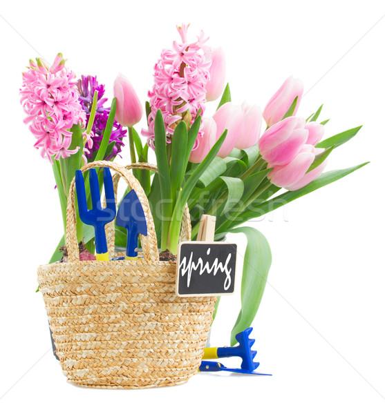 Kerti eszközök rózsaszín jácint tulipánok izolált fehér Stock fotó © neirfy