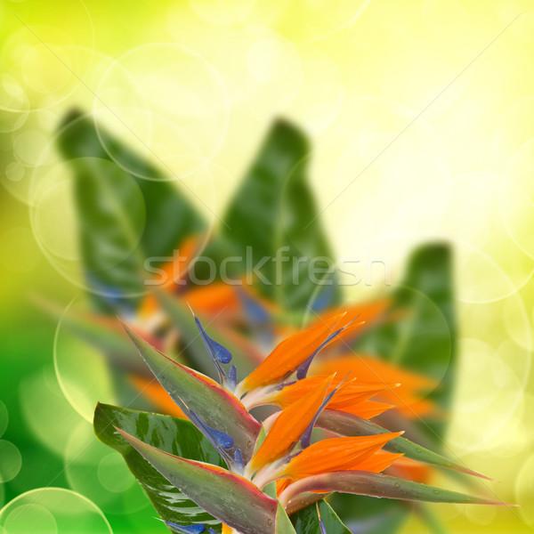 strelitzia flowers  on bokeh background Stock photo © neirfy