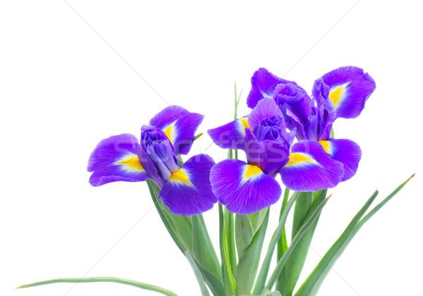 Stockfoto: Voorjaar · Blauw · drie · vers · geïsoleerd · witte