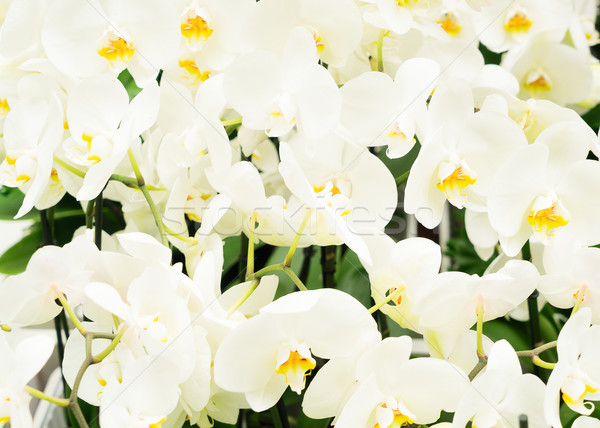 Bunch of white orchids  Stock photo © neirfy