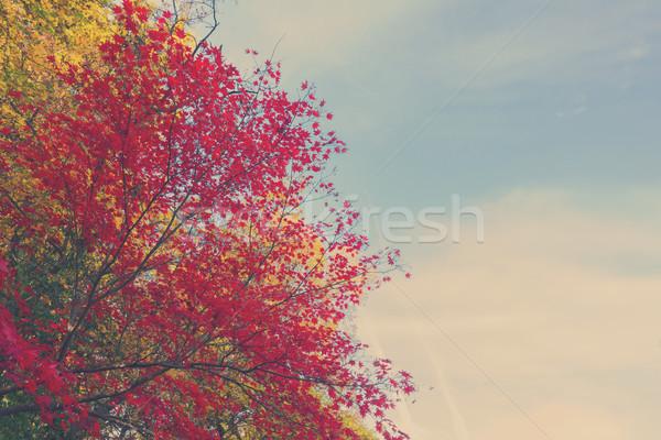 Stok fotoğraf: Kırmızı · akçaağaç · yaprakları · canlı · düşmek · güneşli