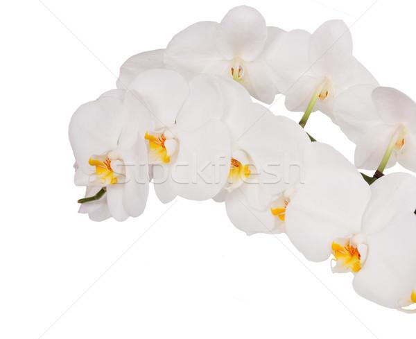 Foto stock: Fresco · orquídeas · flores · branco · isolado · flor