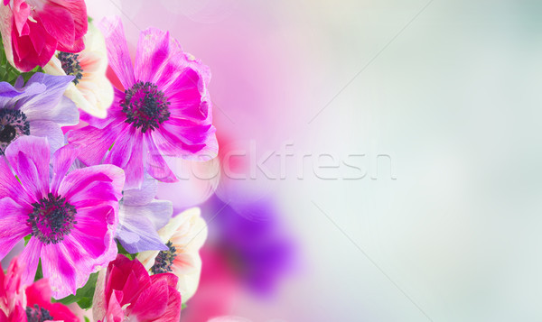anemone flowers in garden Stock photo © neirfy