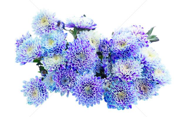 Niebieski chryzantema kwiaty świeże bukiet odizolowany Zdjęcia stock © neirfy