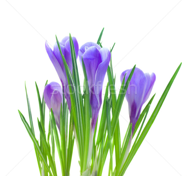 spring crocuses isolated on white Stock photo © neirfy