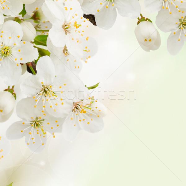 Foto stock: Ameixa · flores · verde · jardim · florescimento