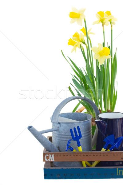 Kerti eszközök nárciszok citromsárga izolált fehér háttér Stock fotó © neirfy