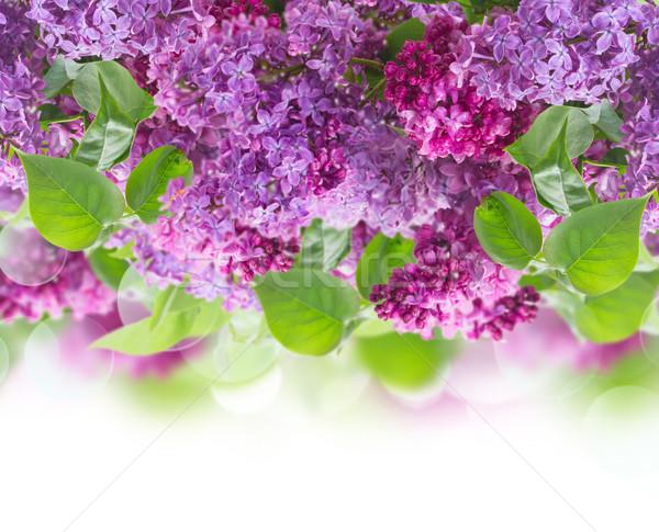 букет сирень Буш цветы границе белый Сток-фото © neirfy