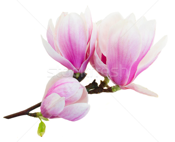Pembe manolya çiçekler dal taze Stok fotoğraf © neirfy
