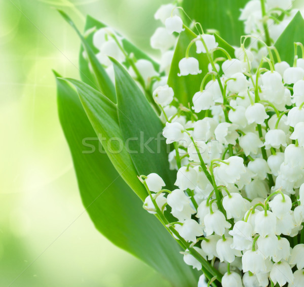 Stock photo: lilly of the valley flowers close up