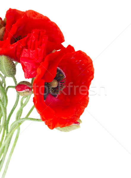 Poppy fresh  flowers Stock photo © neirfy