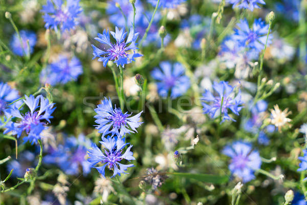Stock photo: Blue cornflower flowers