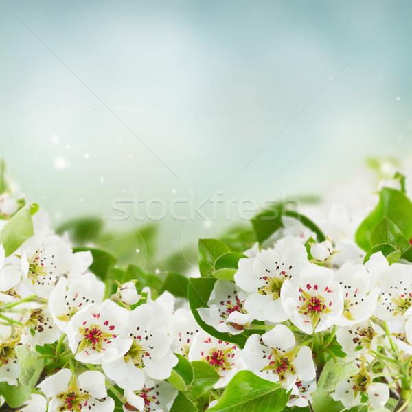 Elma ağacı çiçekler yeşil yaprakları mavi gökyüzü bahar Stok fotoğraf © neirfy
