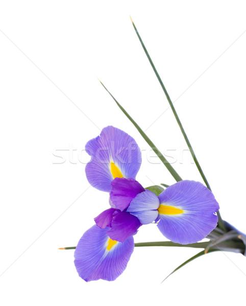 írisz virág izolált fehér természet zöld Stock fotó © neirfy