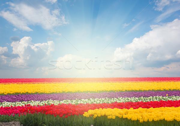 голландский желтый Tulip полях Сток-фото © neirfy