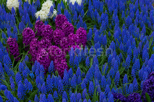 flower bed with blue muscari Stock photo © neirfy