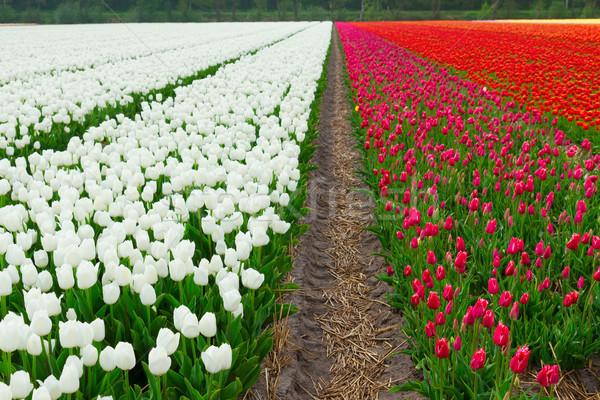 голландский красный Tulip полях белый области Сток-фото © neirfy