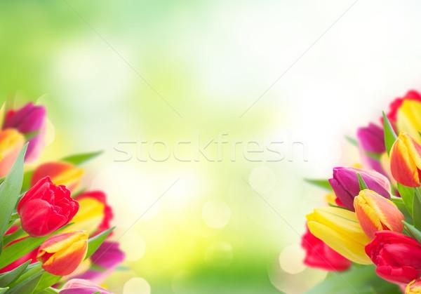 Ramo amarillo púrpura rojo tulipanes Foto stock © neirfy